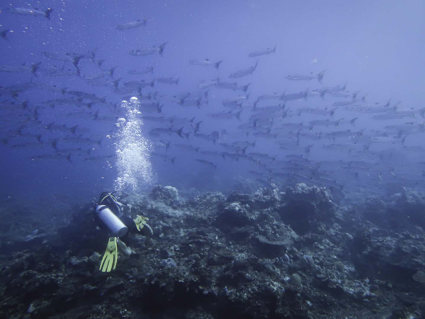 A scuba diver watching a school of barracudas in Apo Reef