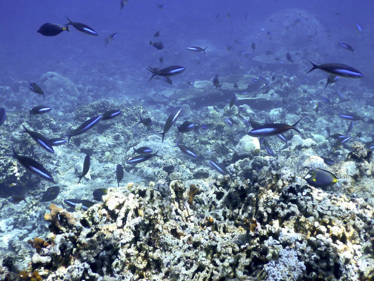 Black and blue fusiliers on the coral reef
