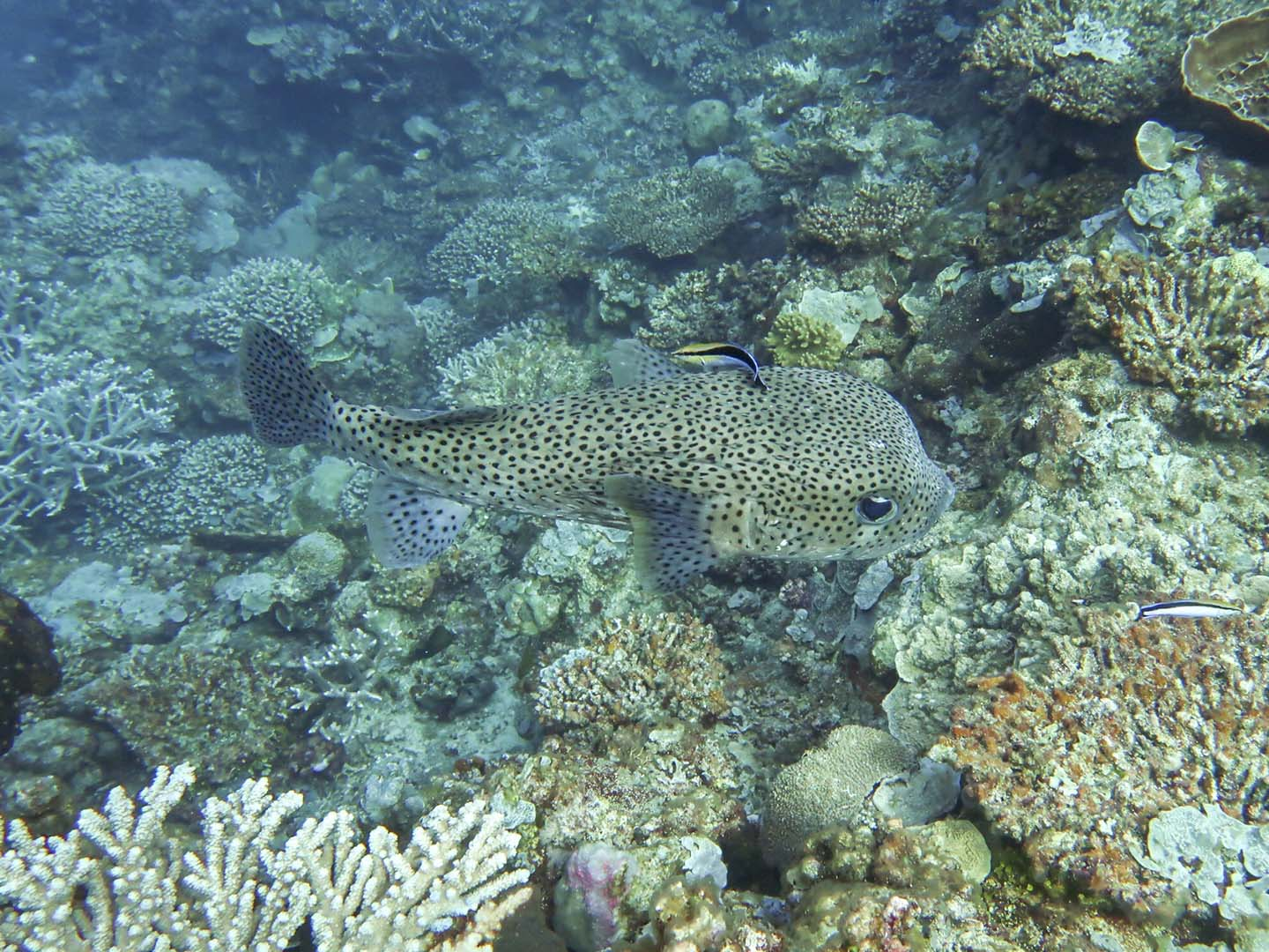 Porcupinefish with a cleaner wrasse swimming on top of corals in Apo Reef