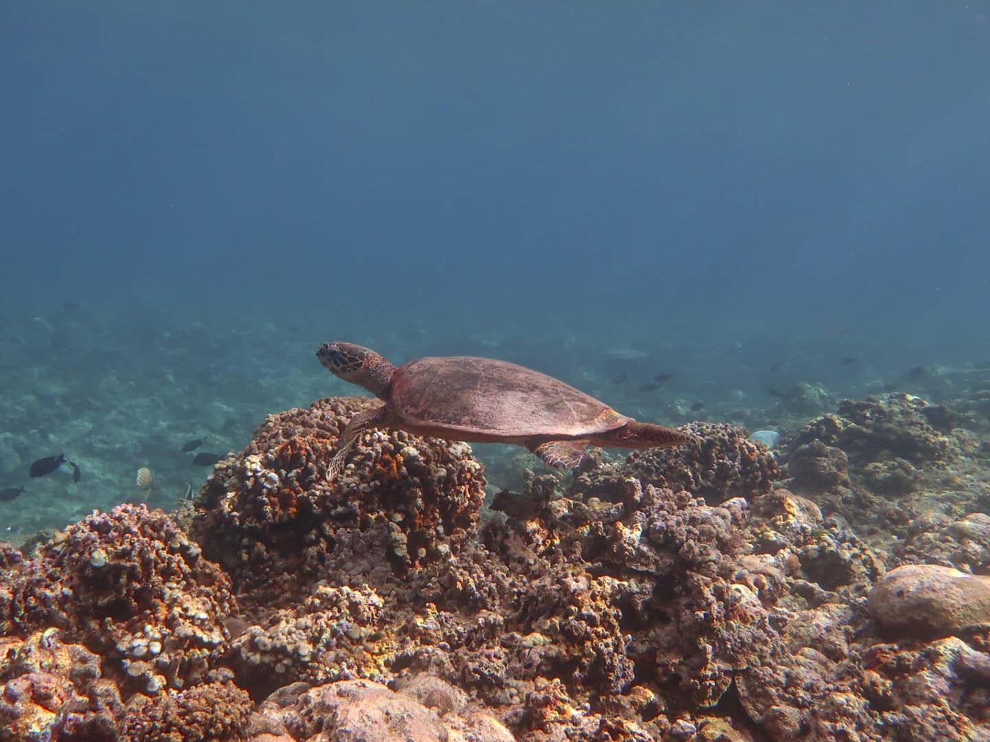 Turtle in Apo Reef