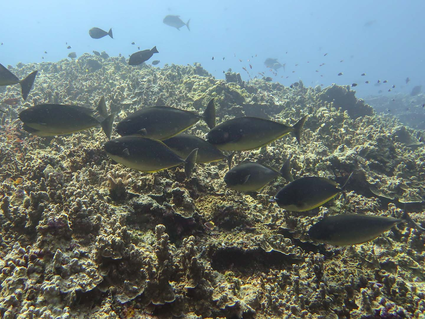 School of surgeonfishes in Apo Reef