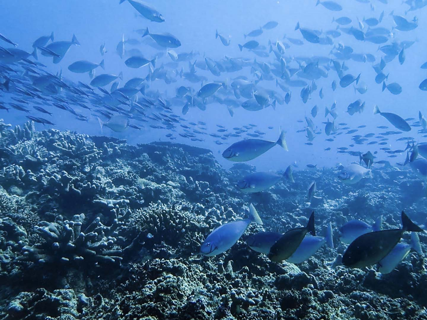 Schools of surgeonfishes and fusiliers in Ego dive site in Apo Reef