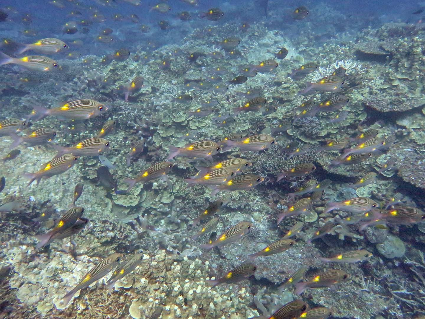 Apo Reef yellow spotted fish