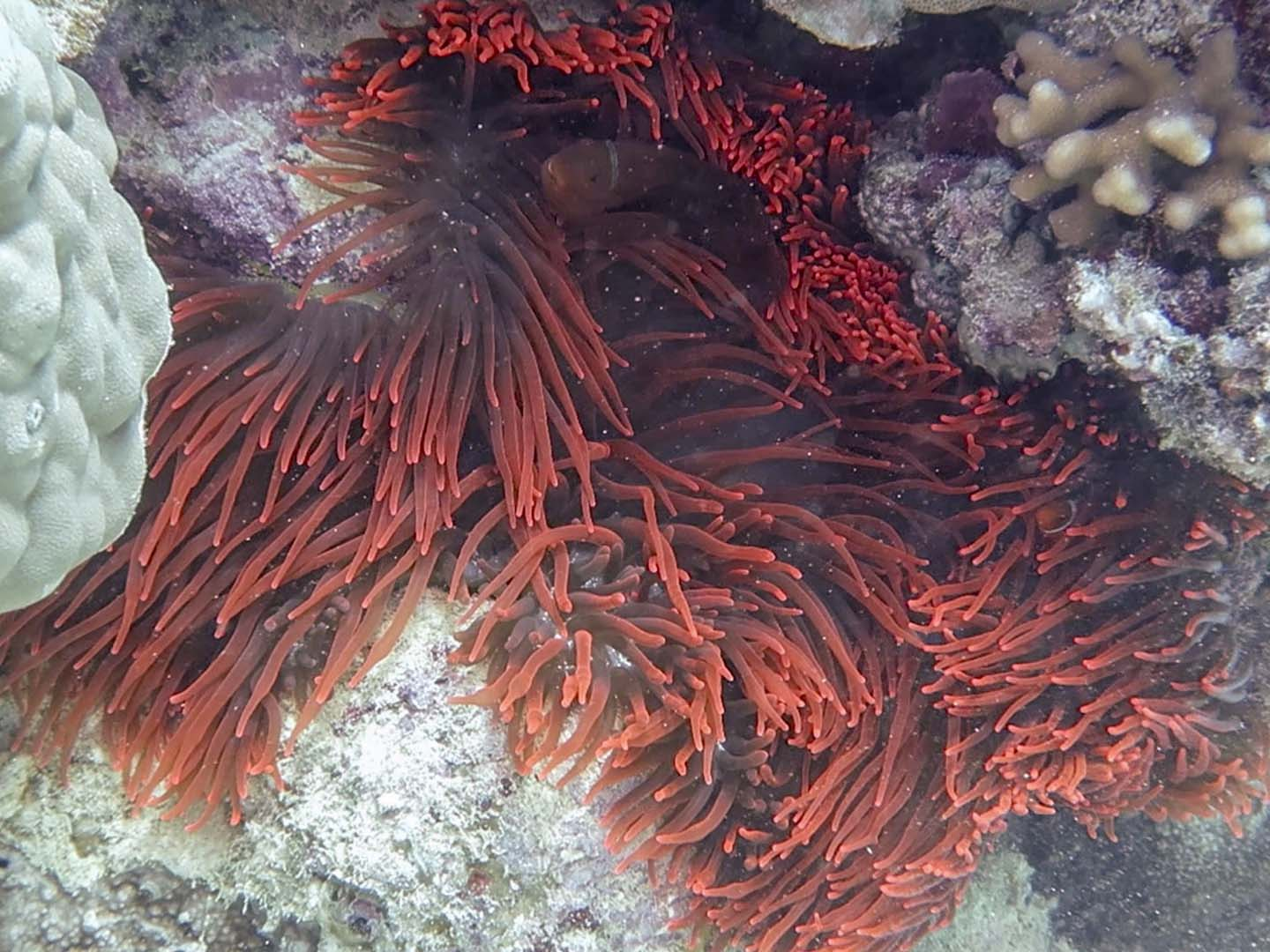 Red anemone and a red tomato anemonefish