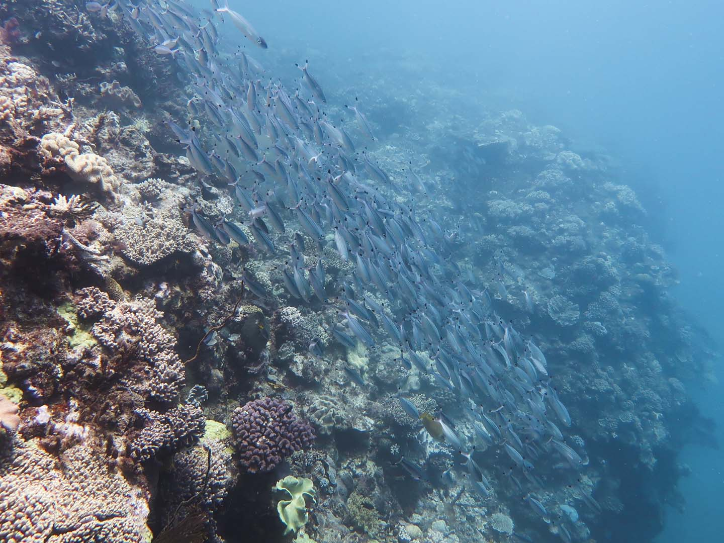 School of fish while scuba diving in the Great Barrier Reef