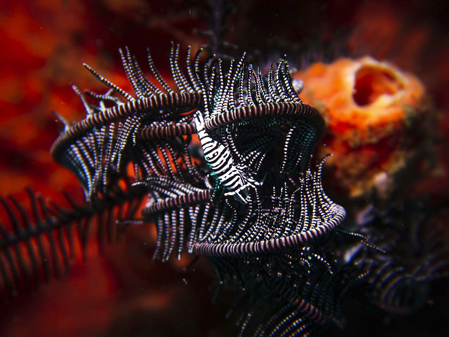 Black and White crinoid shrimp while scuba diving in Dauin