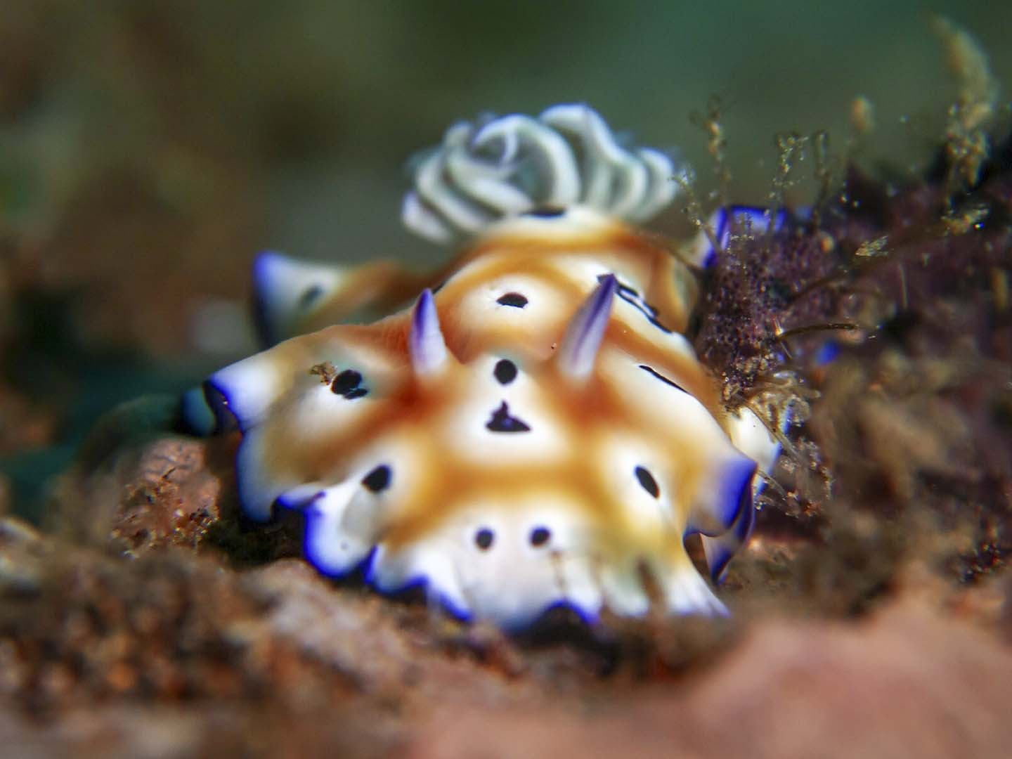 This nudibranch, Goniobranchus kuniei spotted while scuba diving in Dauin, Negros Oriental