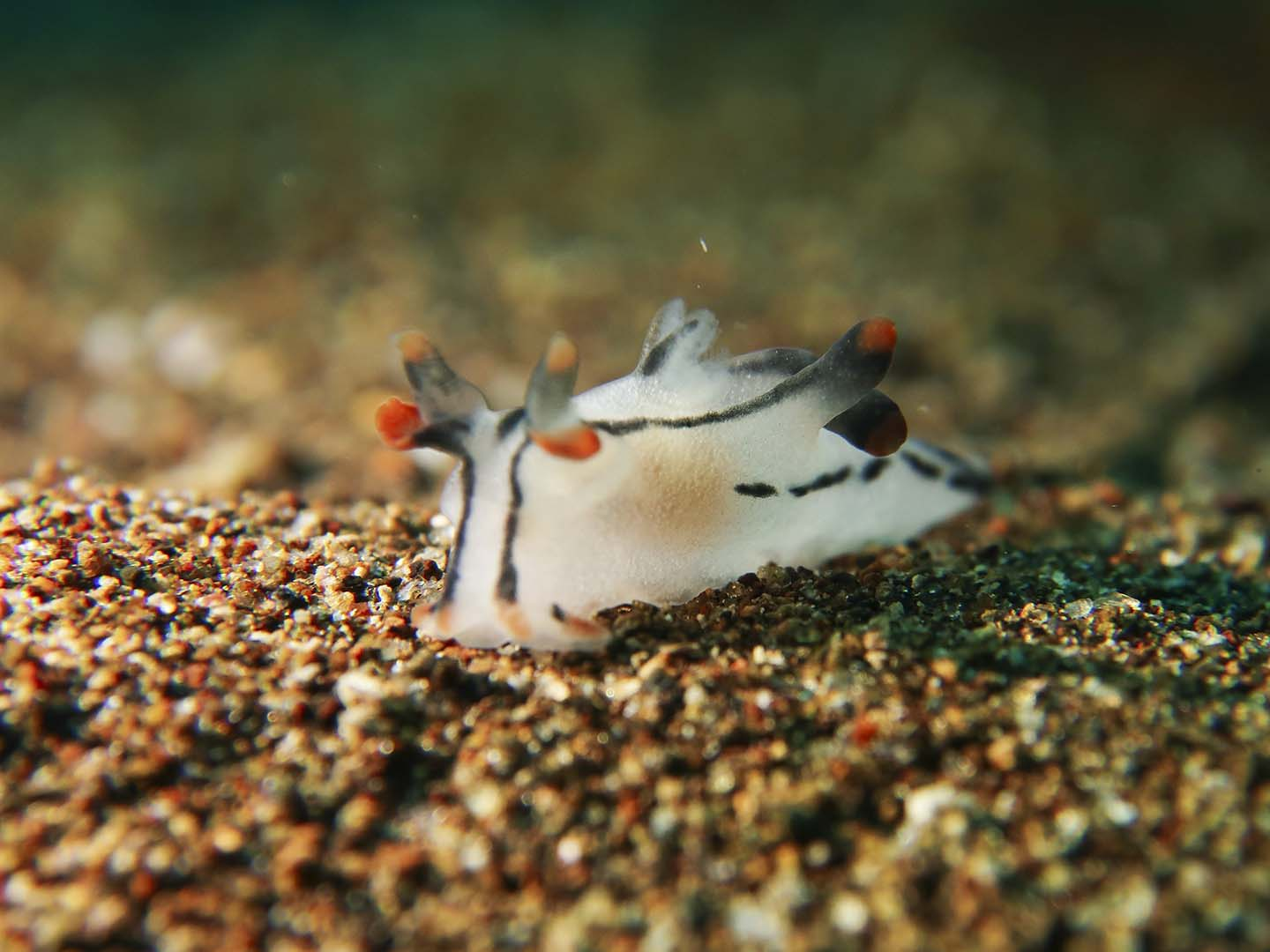 A Thecacera picta nudibranch- known to be closely related to Picachu spotted while scuba diving in Dauin