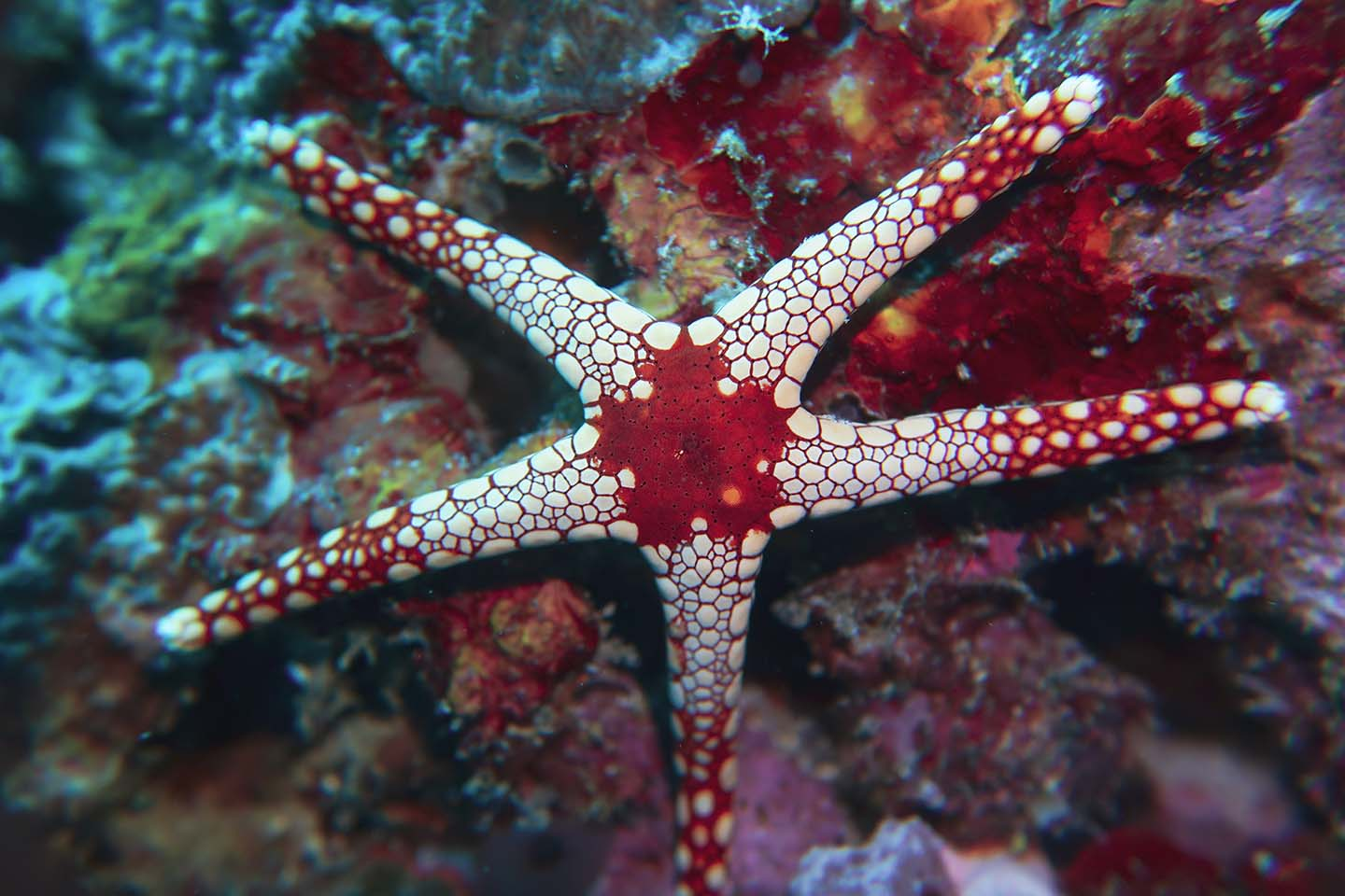 One of the many starfish species you can find in Anilao