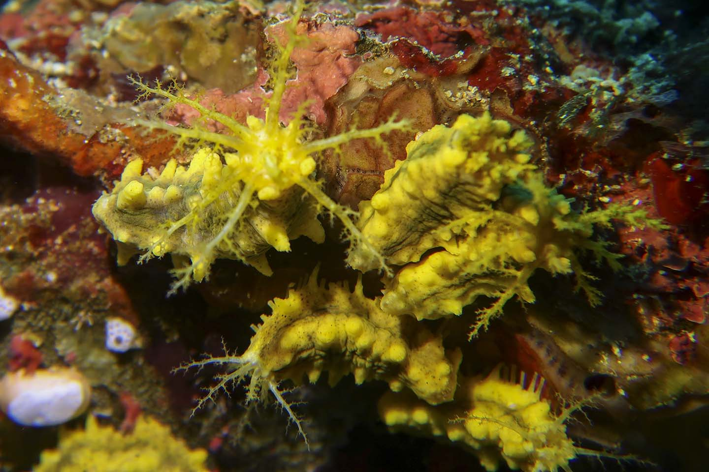 Looks like a nudibranch but its actually a yellow sea cucumber (Colochirus robustus)