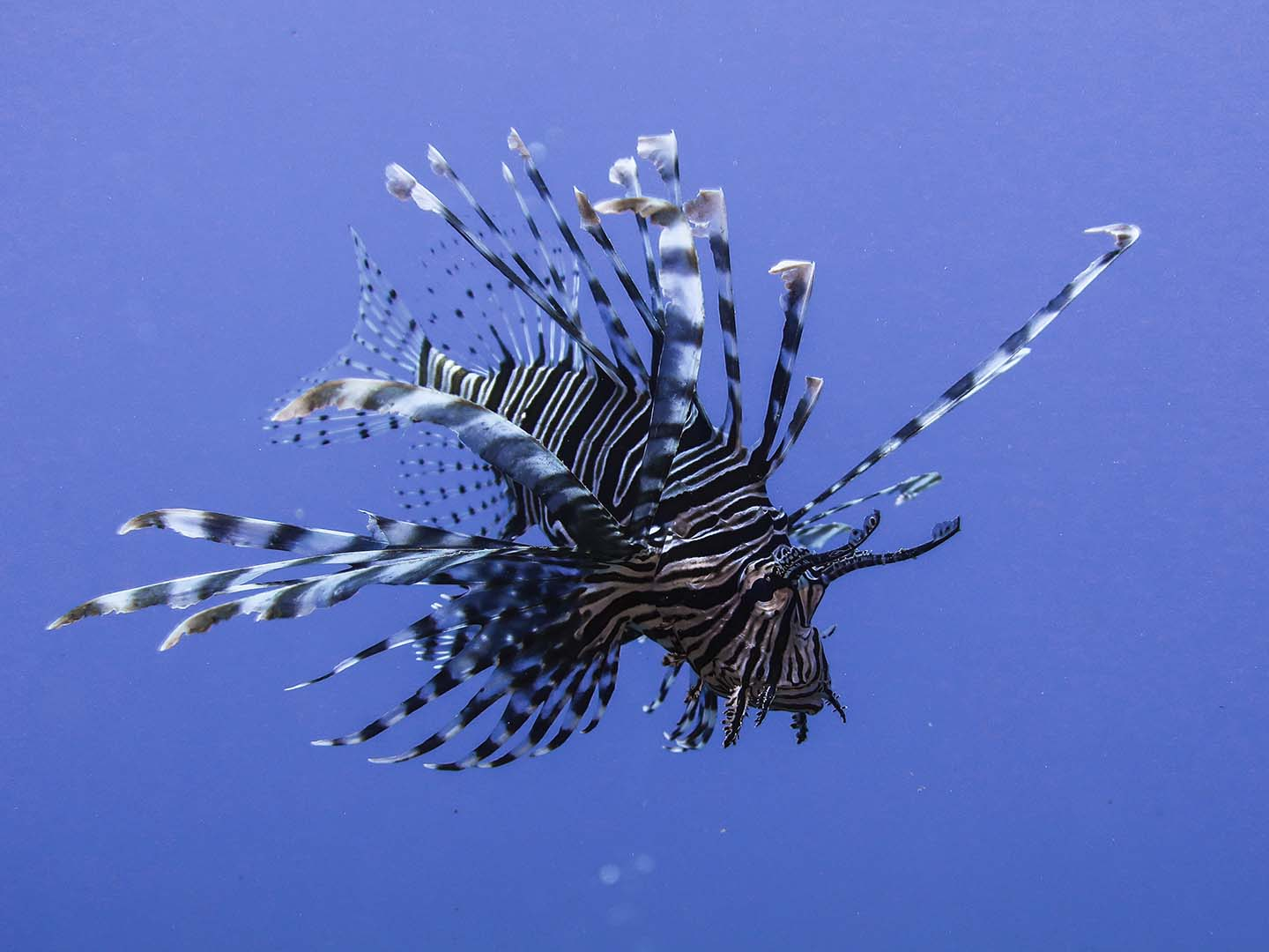 Lionfish in Largahan dive site in Apo Island