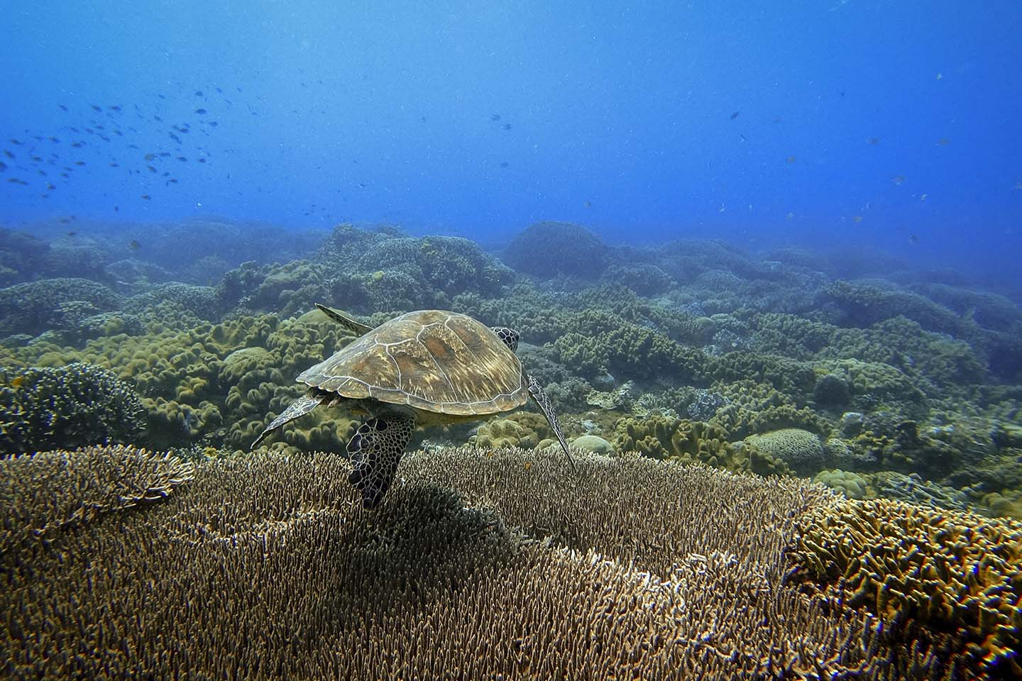 Apo Island is home to many green and hawksbill turtles. They are often seen chilling, swimming and eating around the island, making it a huge attraction for many scuba divers and snorkelers.