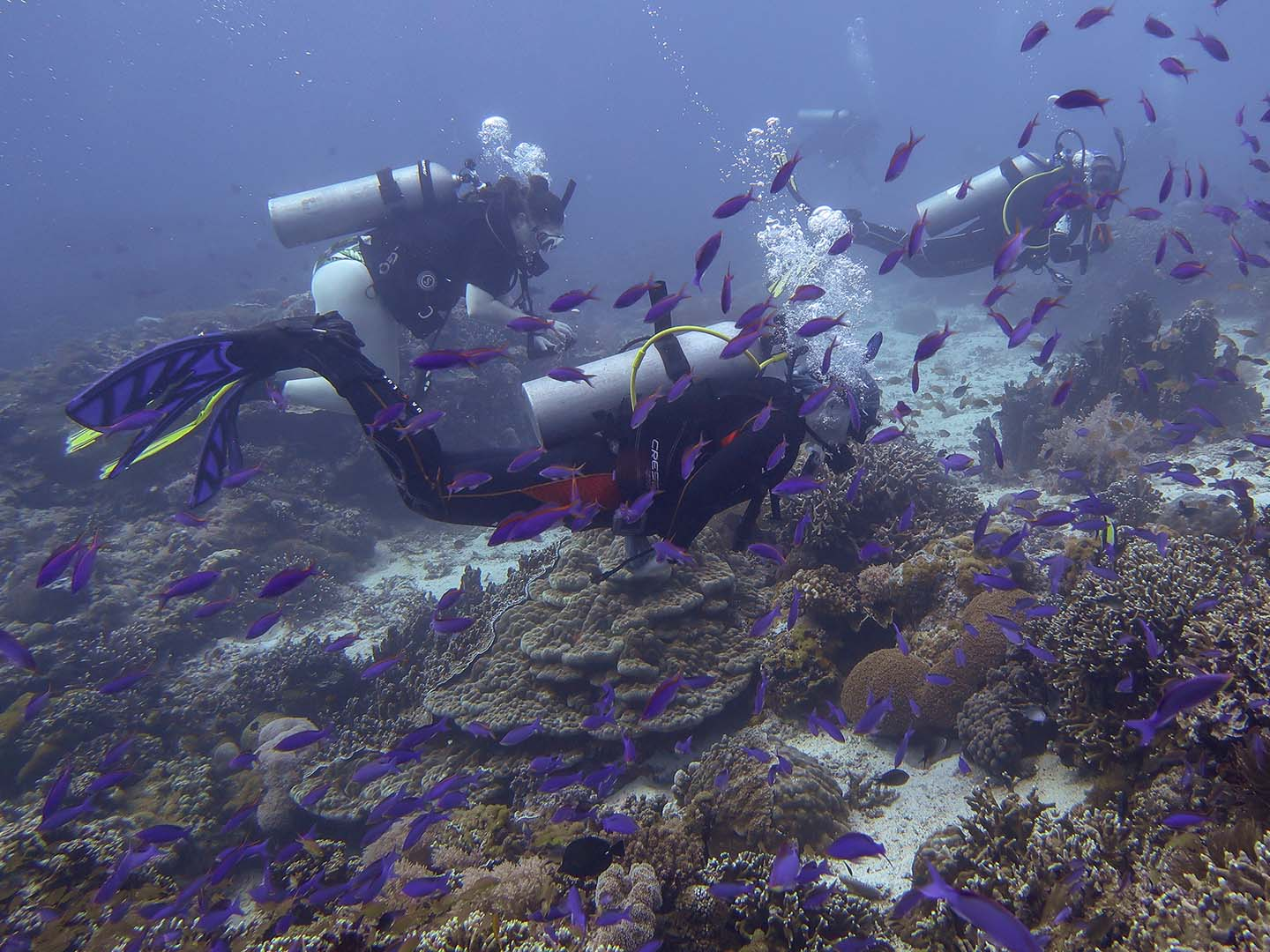 Purple anthias makes the reef brighter and livelier in Chapel dive site in Apo Island.
