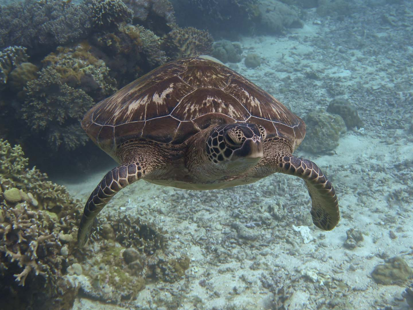 One of the many turtles that live in Apo Island