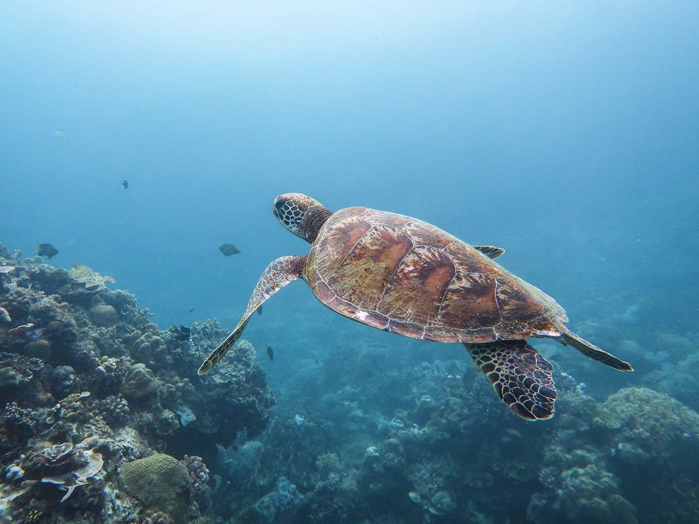 Siquijor Diving: Pawikan Sea Turtle