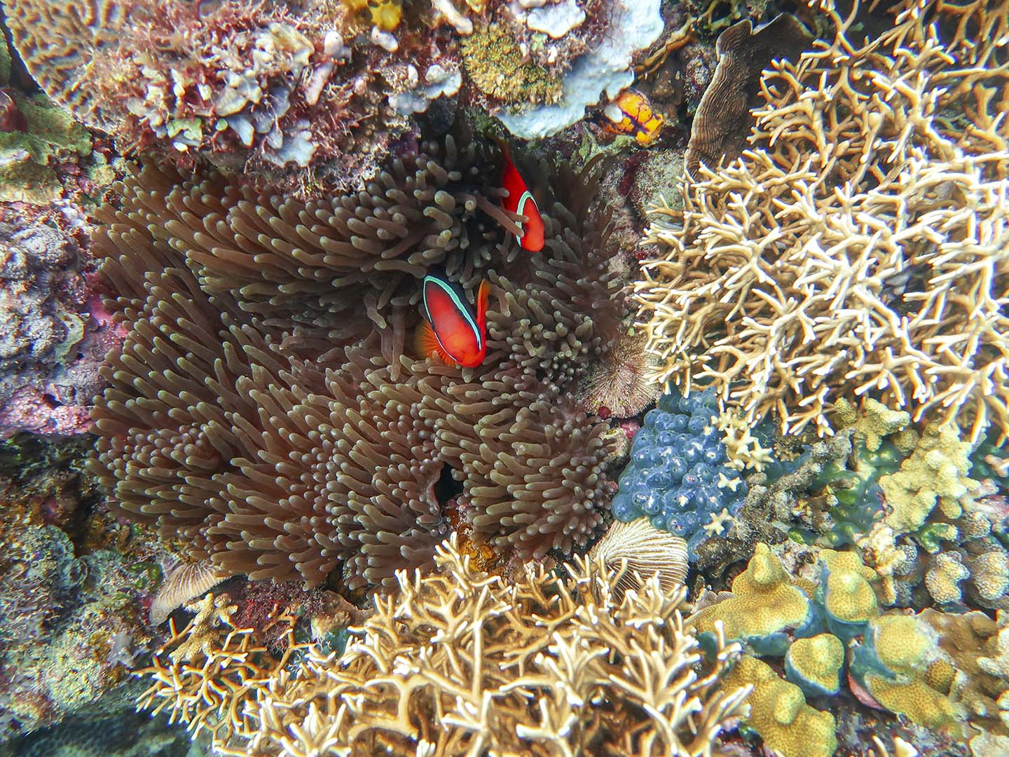 Scuba Diving Siquijor: Tomato Anemonefish surrounded by corals