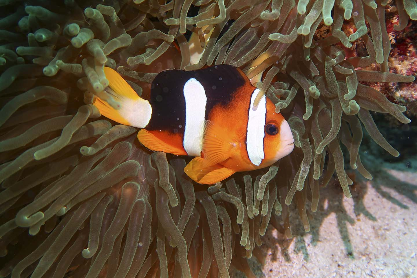Scuba Diving in Siquijor: Clownfish with Anemone