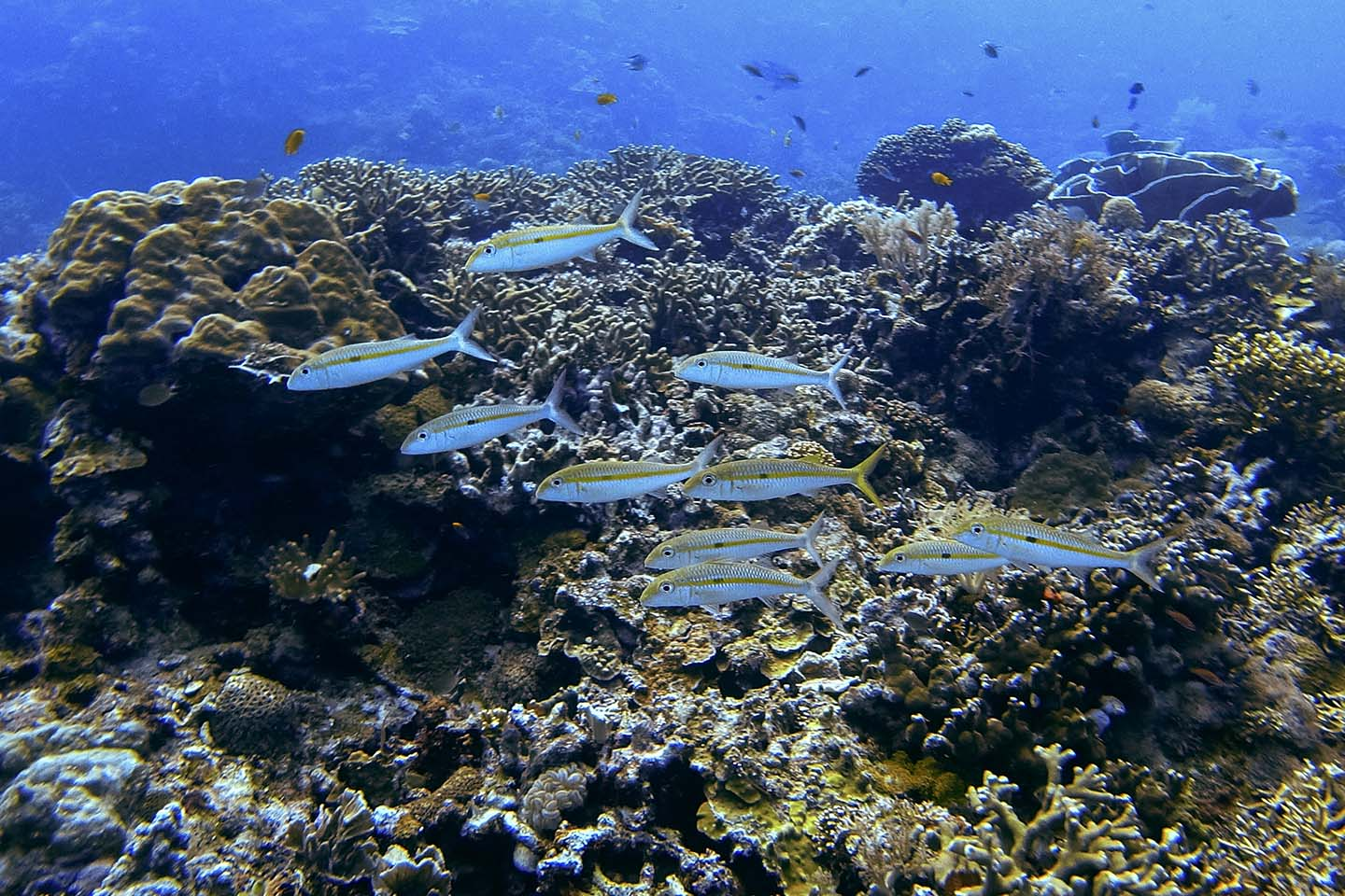 Scuba Diving in Siquijor: School of Fishes