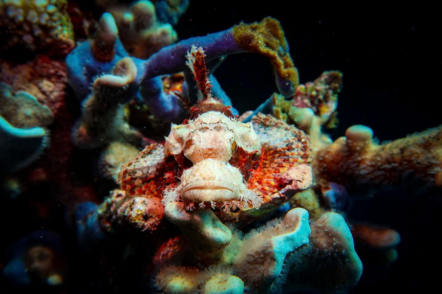 Scorpion Fish spotted while diving in Pescador island