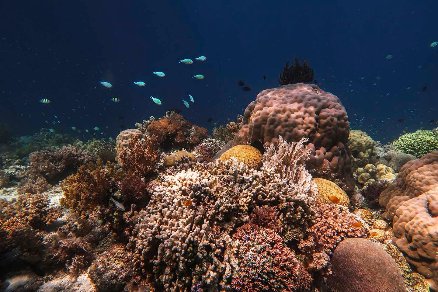Different kinds and colors of soft and hard corals in Balicasag Island