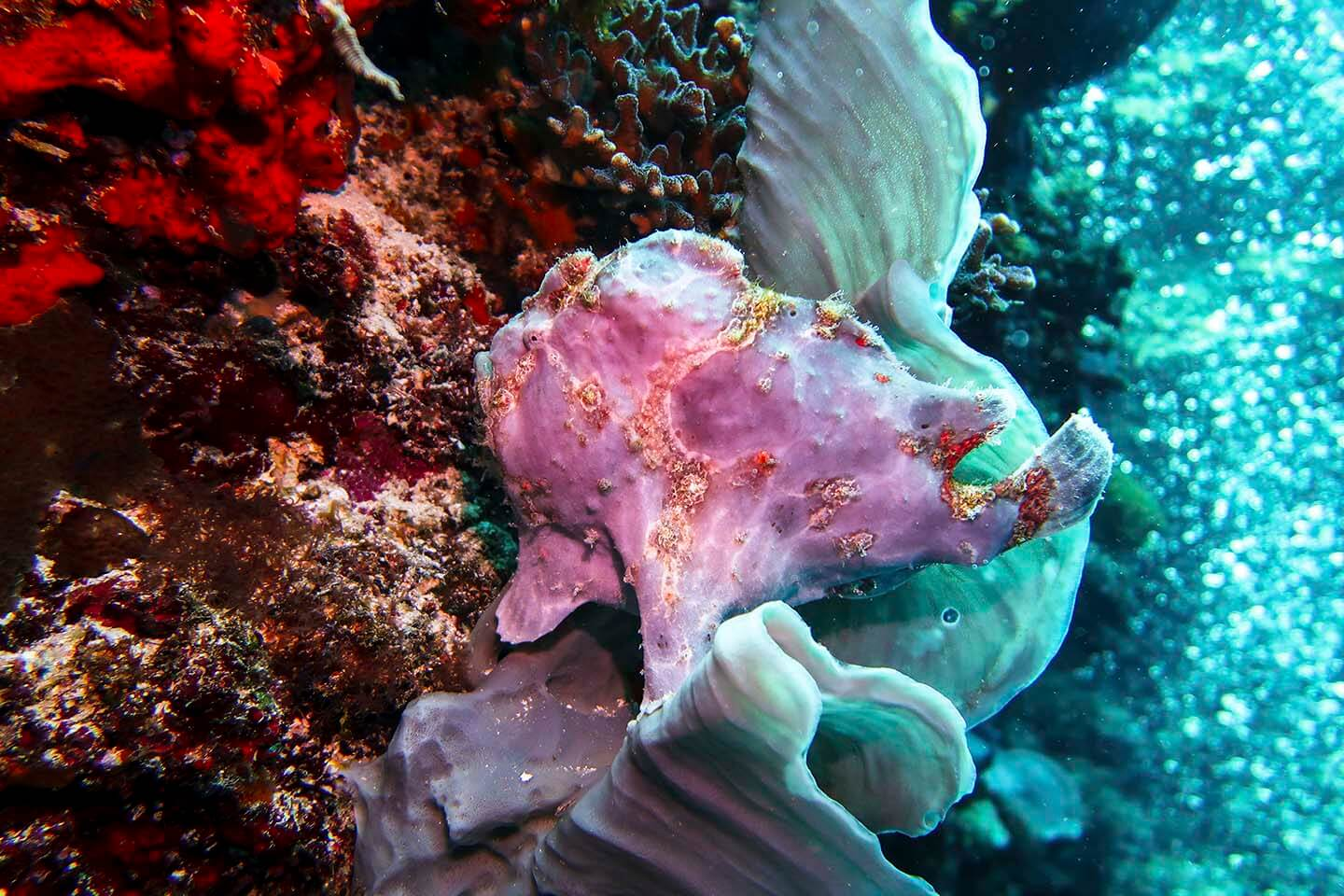 Another giant frogfish (Antennarius commersoni) hiding between elephant ear sponge in Balicasag, Bohol Philippines