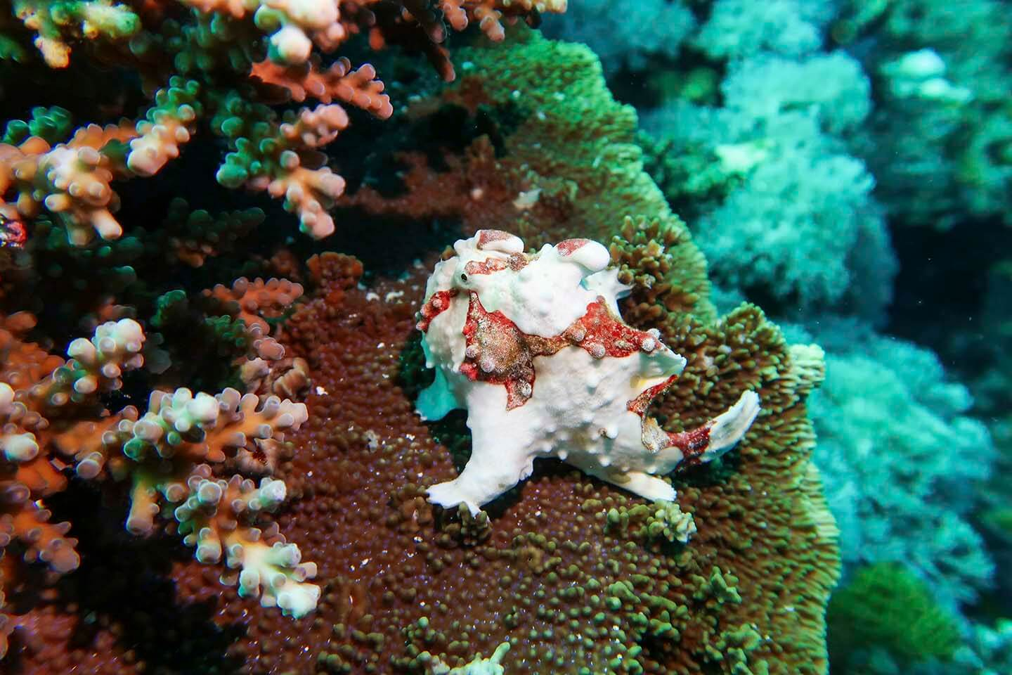 White and Red Warty frogfish (Antennarius maculatus) on a coral in Balicasag, Bohol Philippines