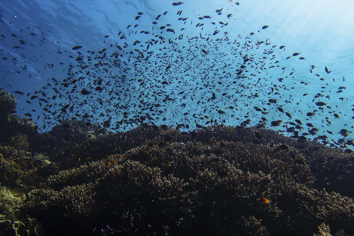 So many chromis over fields of corals in Balicasag, Bohol Philippines