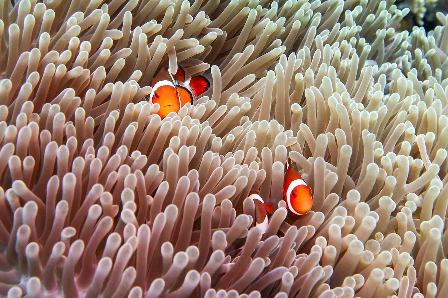 You're bound to find Nemo in Balicasag