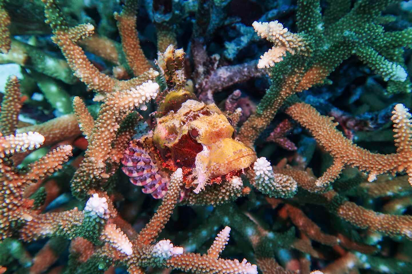 Scorpionfish hiding in the branching Acropora