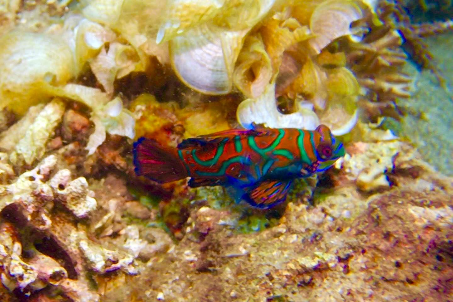 Red Mandarinfish spotted in Lembeh, Indonesia. Photo by Shawna Lietzke
