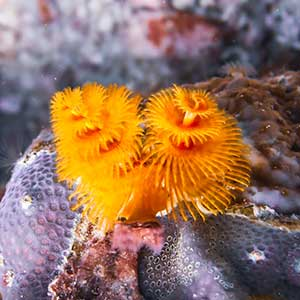 Christmas Tree Worm (Spirobranchus sp.) in Antique Philippines