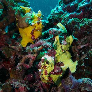 Sea Creatures in the Philippines-Warty/ Clown Frogfish (Antennarius maculatus in Bohol