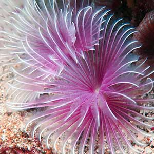 Feather Duster Worm (Bispira sp.) in Anilao Philippines