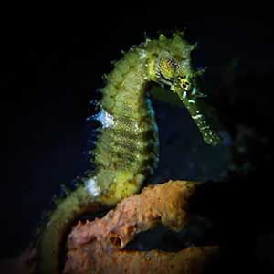 Thorny Seahorse  (Hippocampus histrix) anchored to a sponge in Dauin