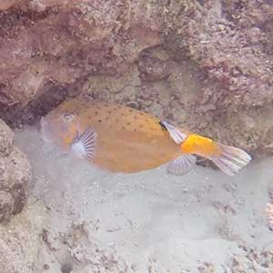 Sea Creatures in the Philippines- Yellow Boxfish (Ostracion cubicus)