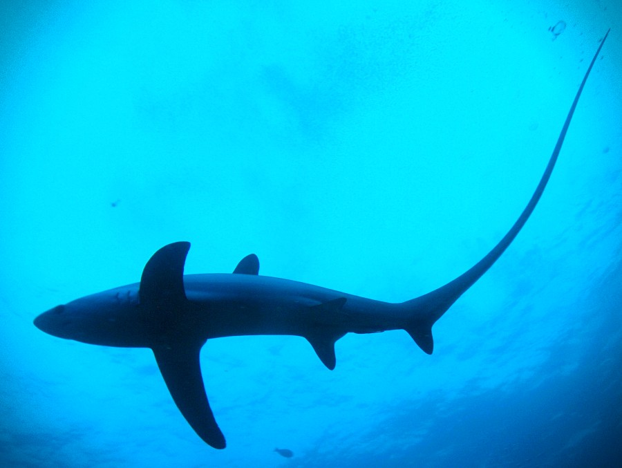 Encounter this amazing shark in Malapascua when you take the PADI Thresher Shark Diver Distinctive Specialty