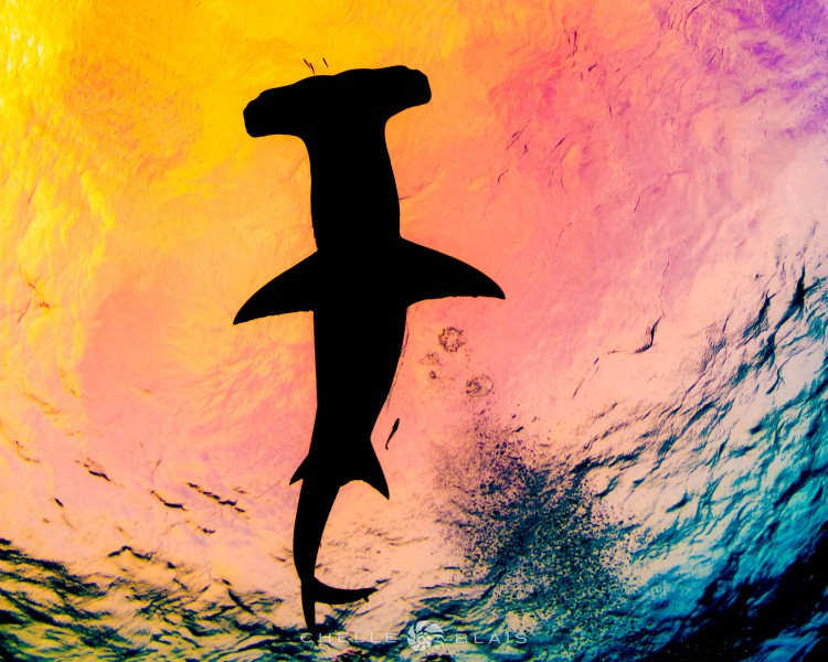 """""""Now in Technicolour"""" Great hammerhead swimming overhead during a scuba dive in Bimini, Bahamas. by female underwater photographer Chelle Blais."""