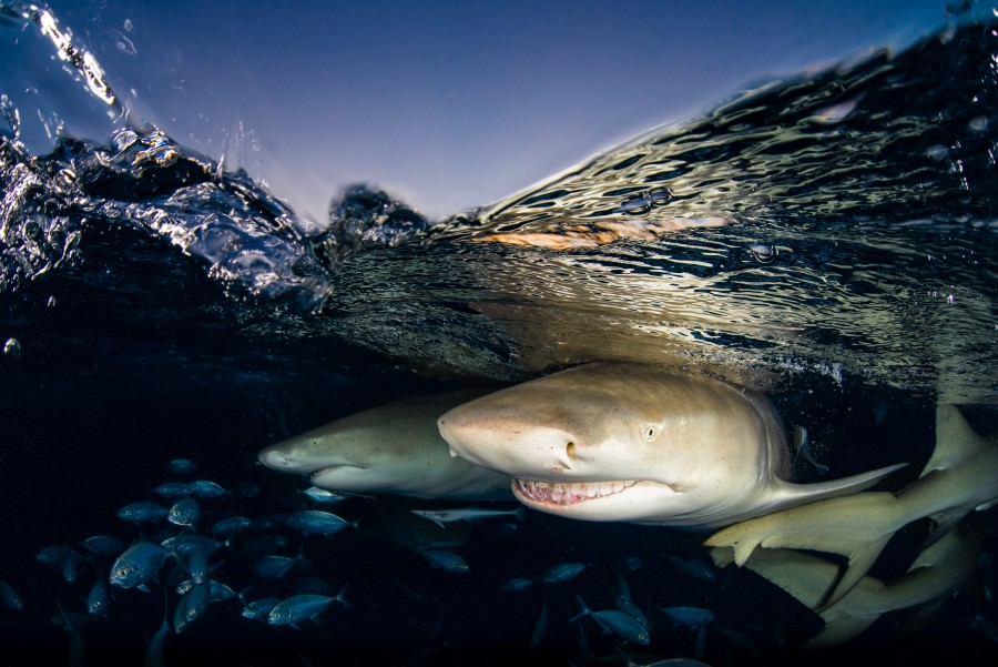 Lemon sharks under the water surface at Tiger Beach, Bahamas. Underwater Photograph by Nurul Yazid